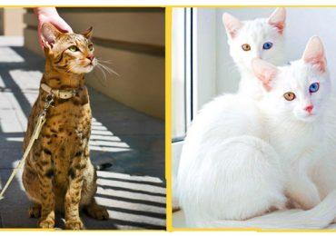 Những giống mèo siêu hiếm đắt giá nhất hành tinh